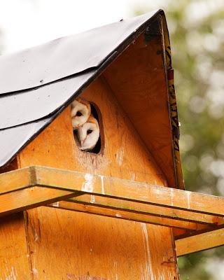 Barn Owl No 5